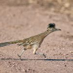 8385 Greater Roadrunner (Geococcyx californianus), Bosque del Apache, NM