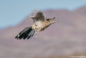 8386 Greater Roadrunner (Geococcyx californianus), Bosque del Apache, NM