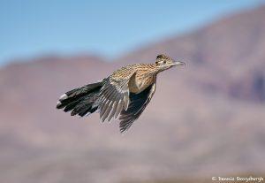8387 Greater Roadrunner (Geococcyx californianus), Bosque del Apache, NM