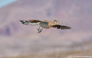 8389 Greater Roadrunner (Geococcyx californianus), Bosque del Apache, NM
