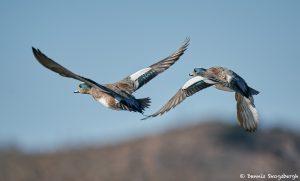 8390 American Wigeon (Anas americana), Bosque del Apache, NM