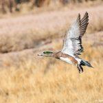 8392 American Wigeon (Anas americana), Bosque del Apache, NM