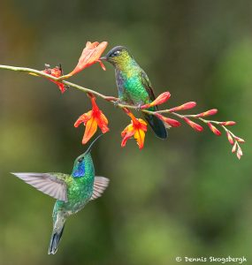 8826 Fiery-throated and Lesser Violet-ear Hummingbirds, Costa Rica