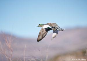 8393 American Wigeon (Anas americana), Bosque del Apache, NM