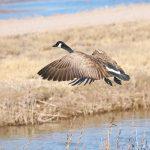 8394 Canada Goose (Branta canadensis), Bosque del Apache, NM
