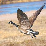 8395 Canada Goose (Branta canadensis), Bosque del Apache, NM