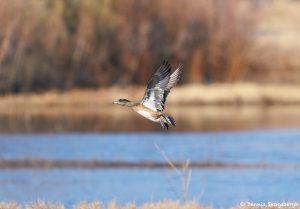 8396 American Wigeon (Anas americana), Bosque del Apache, NM