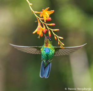 8828 Fiery-throated Hummingbird (Panterpe insignis), Costa Rica
