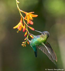 8829 Fiery-throated Hummingbird (Panterpe insignis), Costa Rica