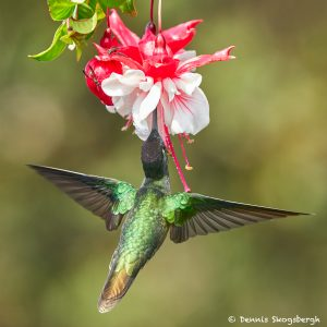 8833 Talamanca Hummingbird (Eugenes spectabilis), Costa Rica