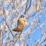 8397 American Kestrel (Falco sparverius), Bosque del Apache, NM