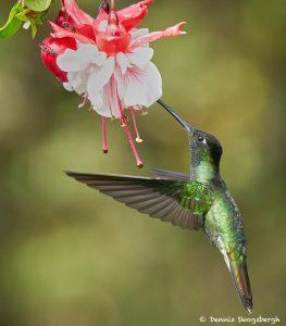 8834 Talamanca Hummingbird (Eugenes spectabilis), Costa Rica