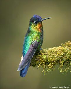 8830 Fiery-throated Hummingbird (Panterpe insignis), Costa Rica