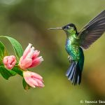 8831 Fiery-throated Hummingbird (Panterpe insignis), Costa Rica