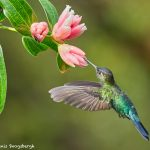 8844 Fiery-throated Hummingbird (Panterpe insignis), Costa Rica