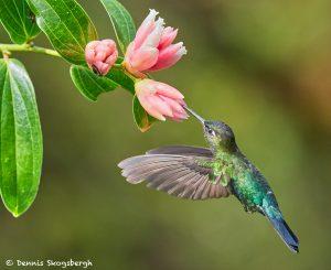 8844 Fiery-throated Hummingbird (Panterpe insignis), Costa Rica