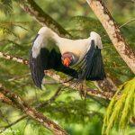 8927 King Vulture (Sarcoramphus papa), Laguna del Lagarto Lodge, Costa Rica
