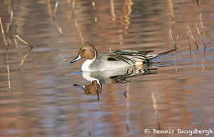 8399 Northern Pintail (Anas acute), Bosque del Apache, NM