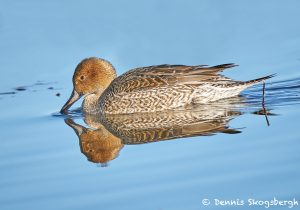 8400 Northern Pintail (Anas acute), Bosque del Apache, NM
