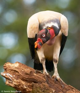 8928 King Vulture (Sarcoramphus papa), Laguna del Lagarto Lodge, Costa Rica