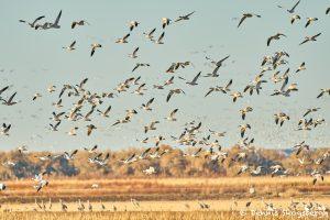8402 Snow Geese 'Lift-off' (Chen caerulescens), Bosque del Apache, New Mexico