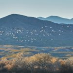 8403 Snow Geese (Chen caerulescens), Bosque del Apache, New Mexico