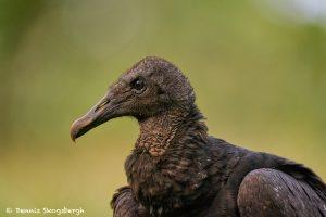 8980 Black Vulture (Coragyps atratus), Laguna del Lagarto Lodge, Costa Rica