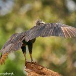 8932 Black Vulture (Coragyps atratus), Laguna del Lagarto Lodge, Costa Rica