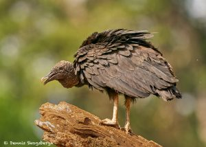8981 Black Vulture (Coragyps atratus), Laguna del Lagarto Lodge, Costa Rica