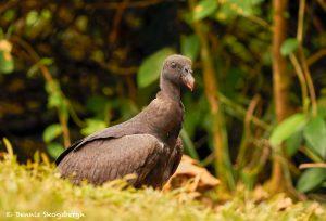 8985 Immature King Vulture (Sarcoramphus papa), Laguna del Lagarto Lodge, Costa Rica