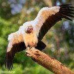 8930 King Vulture (Sarcoramphus papa), Laguna del Lagarto Lodge, Costa Rica
