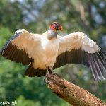 8941 King Vulture (Sarcoramphus papa), Laguna del Lagarto Lodge, Costa Rica