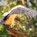 8942 King Vulture (Sarcoramphus papa), Laguna del Lagarto Lodge, Costa Rica