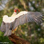 8943 King Vulture (Sarcoramphus papa), Laguna del Lagarto Lodge, Costa Rica