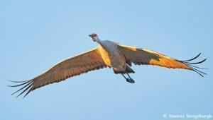 8405 Sandhill Crane (Grus canadensis), Bosque del Apache, NM