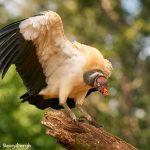 8944 King Vulture (Sarcoramphus papa), Laguna del Lagarto Lodge, Costa Rica