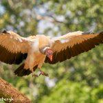 8945 King Vulture (Sarcoramphus papa), Laguna del Lagarto Lodge, Costa Rica