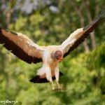 8946 King Vulture (Sarcoramphus papa), Laguna del Lagarto Lodge, Costa Rica