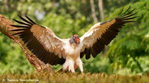 8947 King Vulture (Sarcoramphus papa), Laguna del Lagarto Lodge, Costa Rica