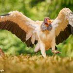 8948 King Vulture (Sarcoramphus papa), Laguna del Lagarto Lodge, Costa Rica