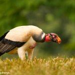 8975 King Vulture (Sarcoramphus papa), Laguna del Lagarto Lodge, Costa Rica