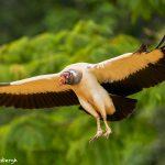 8949 King Vulture (Sarcoramphus papa), Laguna del Lagarto Lodge, Costa Rica