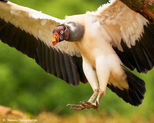 8950 King Vulture (Sarcoramphus papa), Laguna del Lagarto Lodge, Costa Rica