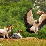 8951 King Vulture (Sarcoramphus papa), Laguna del Lagarto Lodge, Costa Rica