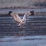 8406 Sandhill Crane (Grus canadensis), Bosque del Apache, NM