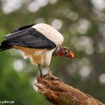 8977 King Vulture (Sarcoramphus papa), Laguna del Lagarto Lodge, Costa Rica