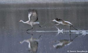 8408 Sandhill Cranes (Grus canadensis), Bosque del Apache, NM