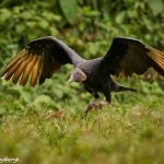 8952 Black Vulture (Coragyps atratus), Laguna del Lagarto Lodge, Costa Rica