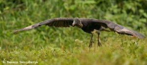 8978 Black Vulture (Coragyps atratus), Laguna del Lagarto Lodge, Costa Rica