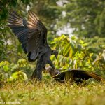 8953 Black Vulture (Coragyps atratus), Laguna del Lagarto Lodge, Costa Rica